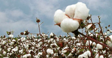 Transgenic Cotton Doesn't Mean Less Expensive T-Shirts